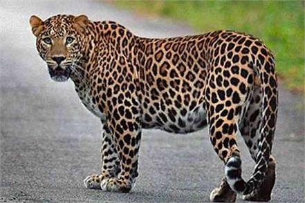 leopard raises knock in the capital