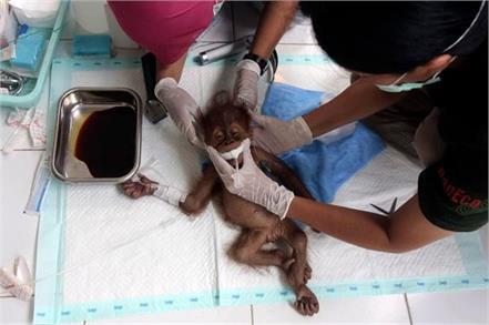 an orangutan named hope was repeatedly shot with an air rifle