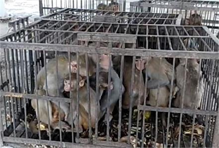 municipal contractor stopped the monkeys in cage showed cruelty