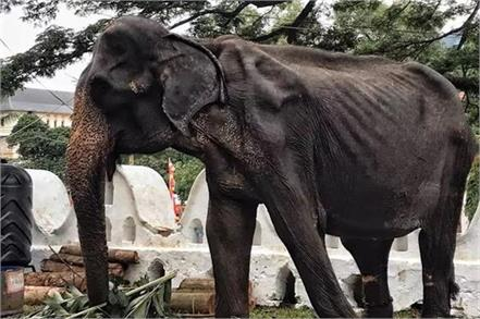 70 yr old skeletal elephant paraded at buiddhist event in sri lank
