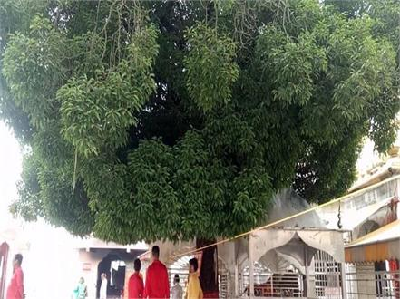 maulsari tree of jwala ji temple in danger