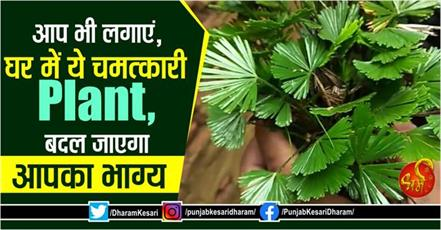 benefits of mayur shikha plant according to vastu shastra