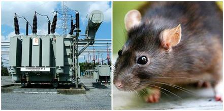 up rats enter transformer gul s 130 village electricity