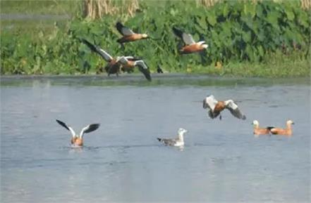 migratory birds buzzing chambal lakhs camped in beautiful lovers