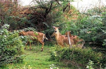 wild animals seen in aravalli in covid19 time