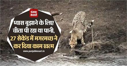 national news punjab kesari social media crocodile cheetah video viral