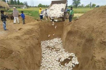 30 thousand chickens and chickens dug together and buried
