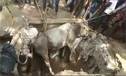 saved lives of bulls falling in borewells watch video