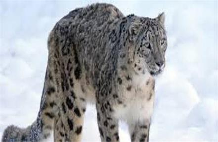 73 snowfall leopards found in himachal for the first time