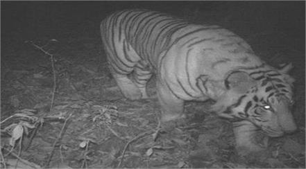 camera footage confirms tiger presence ban on traffic in the village