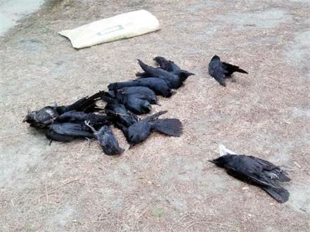 dead crow found in chamba