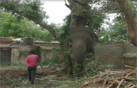 elephant mithu is imprisoned for murder for one and a half years parole