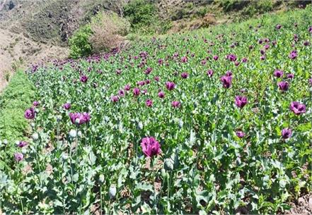 one and a half lakhs of poppy plants recovered on 18 bighas of land
