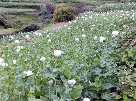 opium farming busted