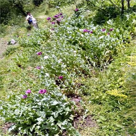 opium farming in nirmand of aani