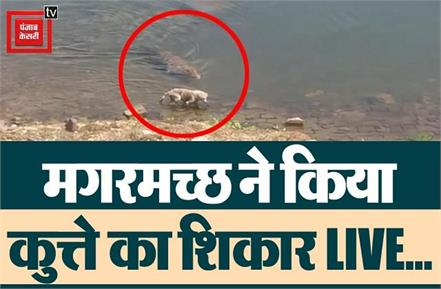 a crocodile hunted dog came to drink water on the dam