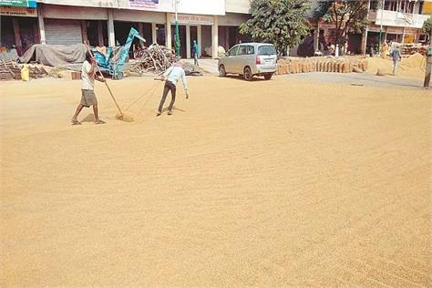 farmers putting sunny in the mandis by bringing moist rice