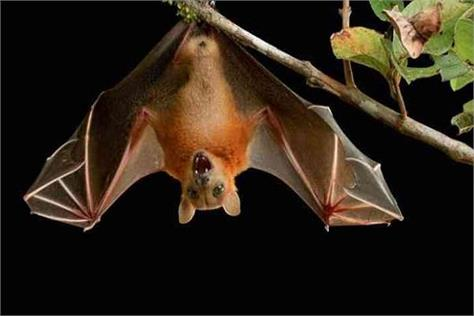 claims in report nipah virus not spread due to bats