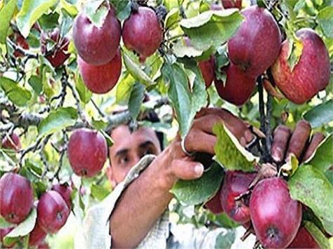 apple of the gardeners not reaching mandis