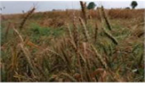 crops damaged due to storm