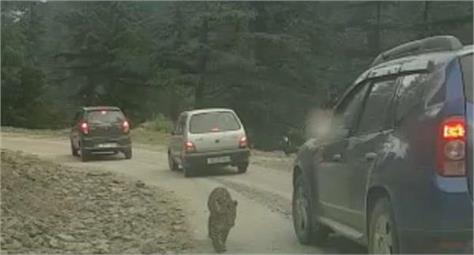 leopard seen on kishtwar anantnag road