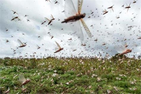 punjab agriculture department launched grasshopper campaign
