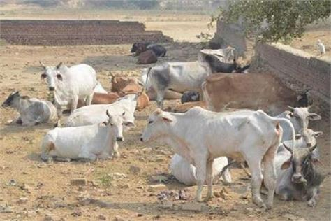kanha upvan to be built on 30 acres 10 thousand destitute cow and bulls