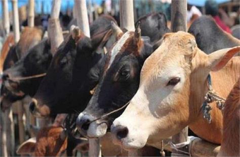 1 death of bovine in ellenabad