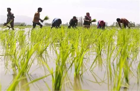 16 49 increase in sowing of zayed so far this year govt