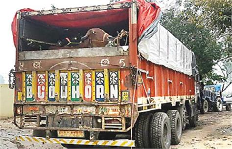 police caught 4 cow smugglers on agra 4 cow smugglers arrested