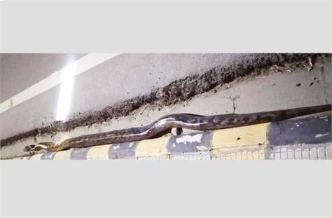 13 foot python came out in this district of punjab